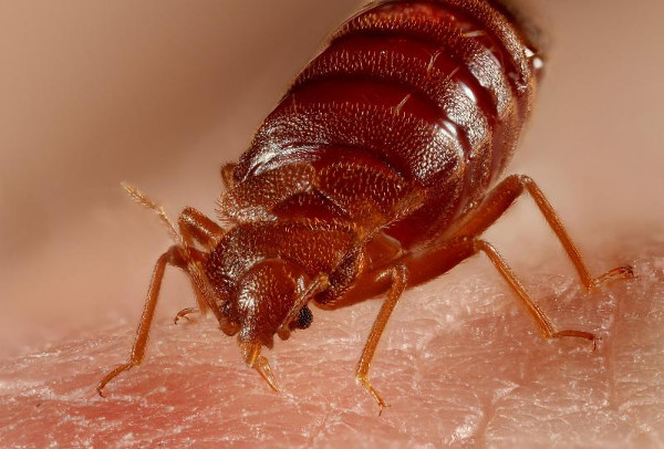 Bed Bug Control – Heat VS Chemical